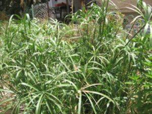גומא תרבותי גדל בחצר של קולעת תימניה.